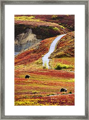Grizzly Bears And Fall Colours, Denali Framed Print
