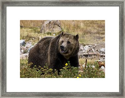 Grizzly Framed Print by Gordon Ripley