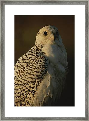 Gyrfalcon Falco Rusticolus In Its White Framed Print