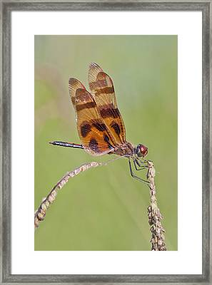 Halloween Pennant Dragonfly At Lacassine Framed Print by Bonnie Barry