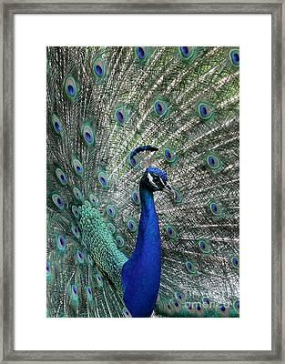 Handsome Peacock Framed Print