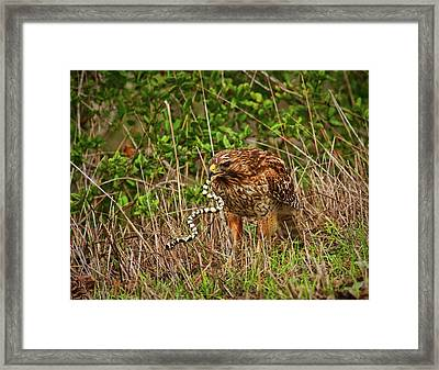 Hawk And Snake Framed Print
