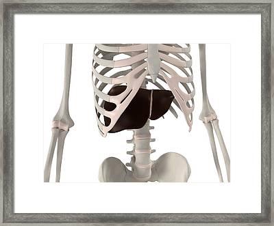 Healthy Liver, Artwork Framed Print by Sciepro