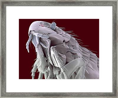 Hedgehog Flea, Sem Framed Print by Steve Gschmeissner