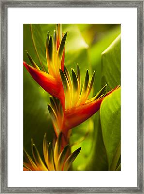 Heliconia Framed Print by Dana Edmunds - Printscapes