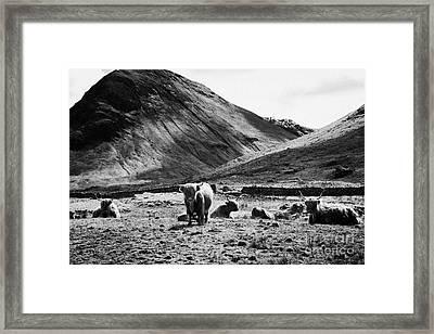 Herd Of Red Highland Cattle Glencoe Highlands Scotland Uk Framed Print by Joe Fox