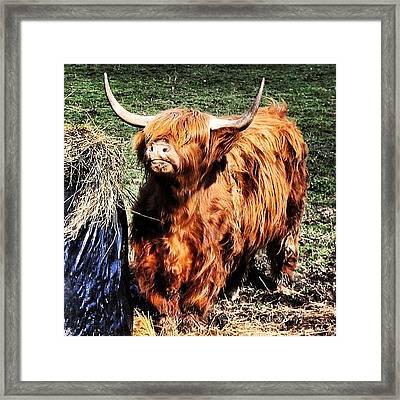 Highland's Cow Framed Print