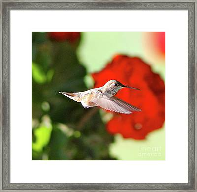 Hummingbird 4 Framed Print