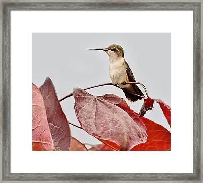 Hummingbird Framed Print by Paulette Thomas