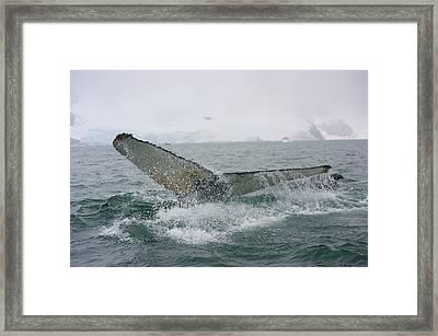 Humpback Whale Megaptera Novaeangliae Framed Print by Keenpress