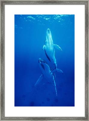 Humpback Whale Mother And Calf Framed Print by Alexis Rosenfeld