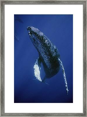 Humpback Whale Singer Maui Hawaii Framed Print