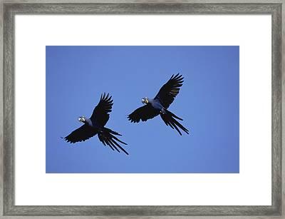 Hyacinth Macaw Anodorhynchus Framed Print