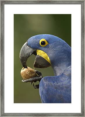 Hyacinth Macaw Anodorhynchus Framed Print by Pete Oxford