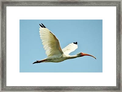 Ibis In Flight Framed Print by Paulette Thomas