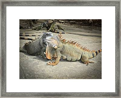 Framed Print featuring the photograph Iguana Family by Nick Mares