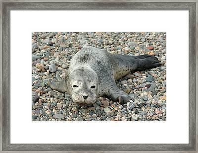 Injured Harbor Seal Framed Print by Ted Kinsman