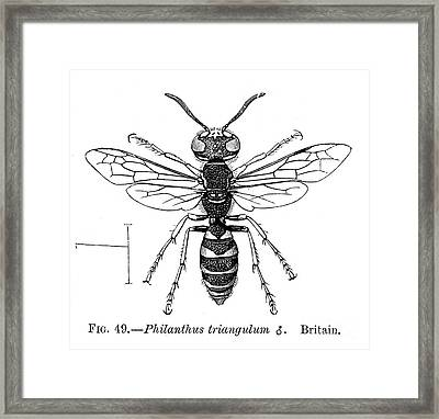 Insects: Wasps Framed Print by Granger