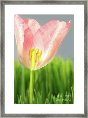 Inside Of A Pink Tulip Framed Print by Sandra Cunningham