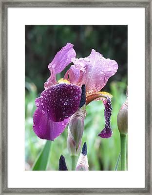 Iris Framed Print by Rebecca Overton