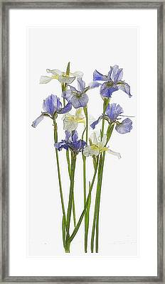 Irises In Blue And Yellow  Framed Print by Gordon Ripley