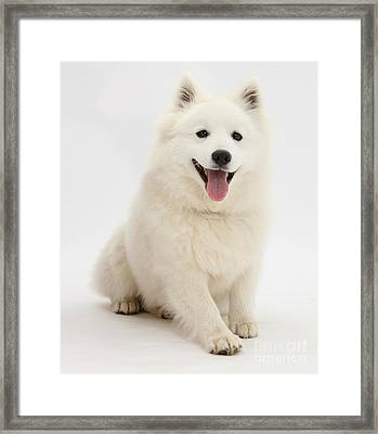 Japanese Spitz Dog Framed Print by Mark Taylor