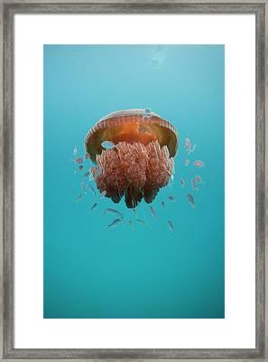 Jelly Fish Framed Print by Scott Portelli