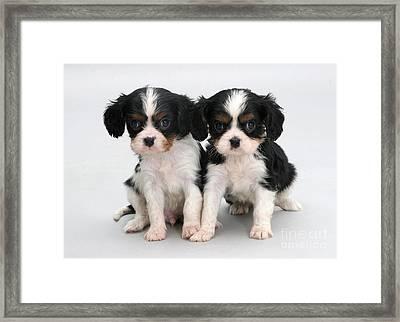 King Charles Spaniel Puppies Framed Print by Jane Burton
