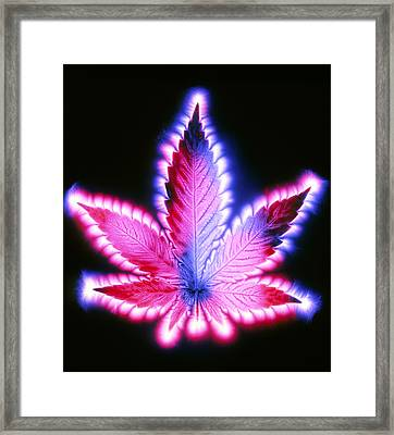Kirlian Photograph Of A Leaf Of Cannabis Sativa Framed Print by Garion Hutchings