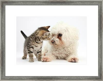 Kitten And Bichon Frise Dog Framed Print by Mark Taylor