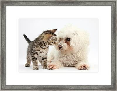 Kitten And Bichon Frise Dog Framed Print