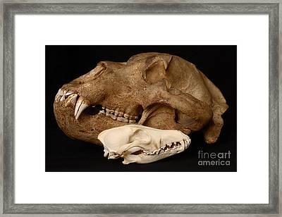 Kodiak Bear Skull With Coyote Skull Framed Print by Ted Kinsman