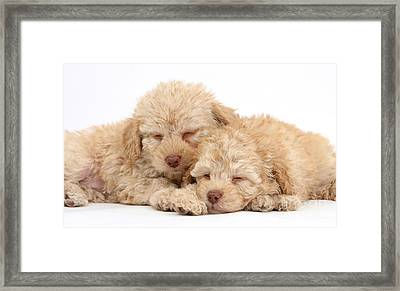 Labradoodle Puppies Framed Print
