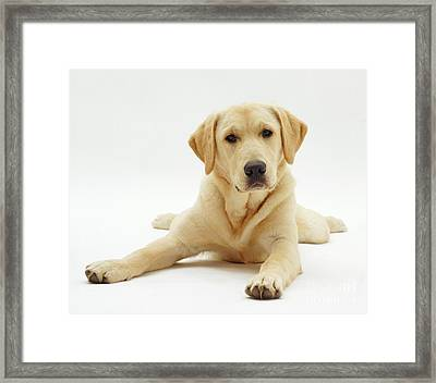 Labrador X Golden Retriever Puppy Framed Print by Jane Burton