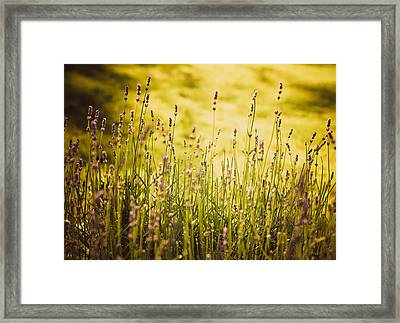 Lavender Gold Framed Print by Sara Frank