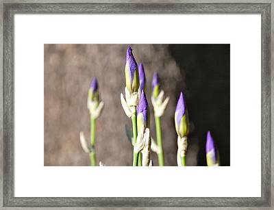 Framed Print featuring the photograph Lavender Iris Buds by Mary McAvoy