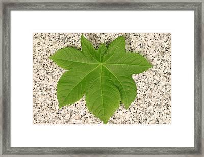 Leaf Of Castor Bean Plant Framed Print by Ted Kinsman