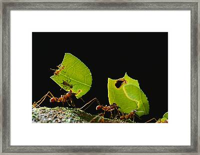 Leafcutter Ant Atta Cephalotes Workers Framed Print