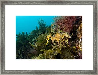 Leafy Sea Dragon Framed Print