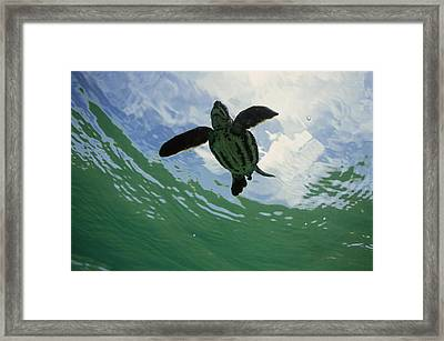 Leatherback Sea Turtle Dermochelys Framed Print by Mike Parry