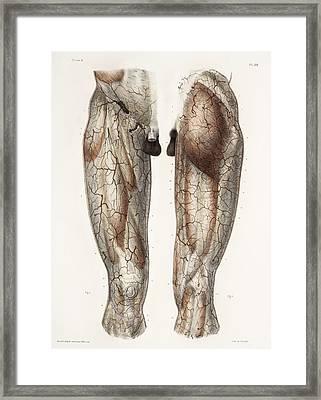 Leg Anatomy, 19th Century Illustration Framed Print by