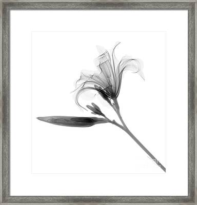 Lilly Framed Print by Ted Kinsman