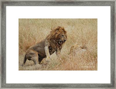 Lion Framed Print by Alan Clifford