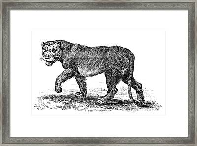 Lion Framed Print by Granger