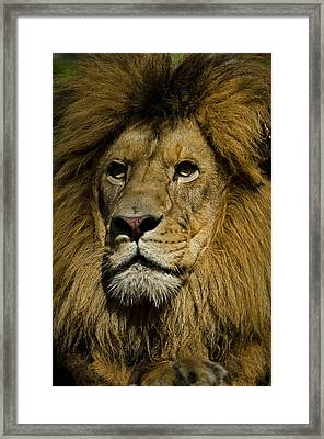Lion Portrait Framed Print by JT Lewis