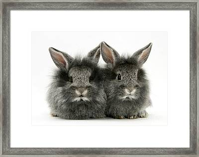 Lionhead Rabbits Framed Print by Jane Burton