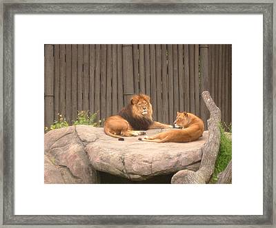 Lions - The Happy Couple Relaxing - Cleveland Metro Zoo 1 Framed Print by S Taylor