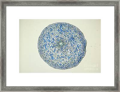 Lm Of Ranunculus Stem Framed Print by M. I. Walker