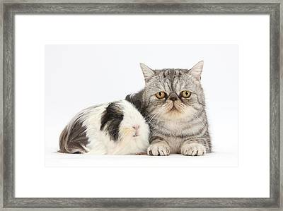 Long-haired Guinea Pig And Silver Tabby Framed Print
