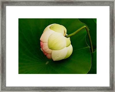 Lotus Framed Print by Jean Noren